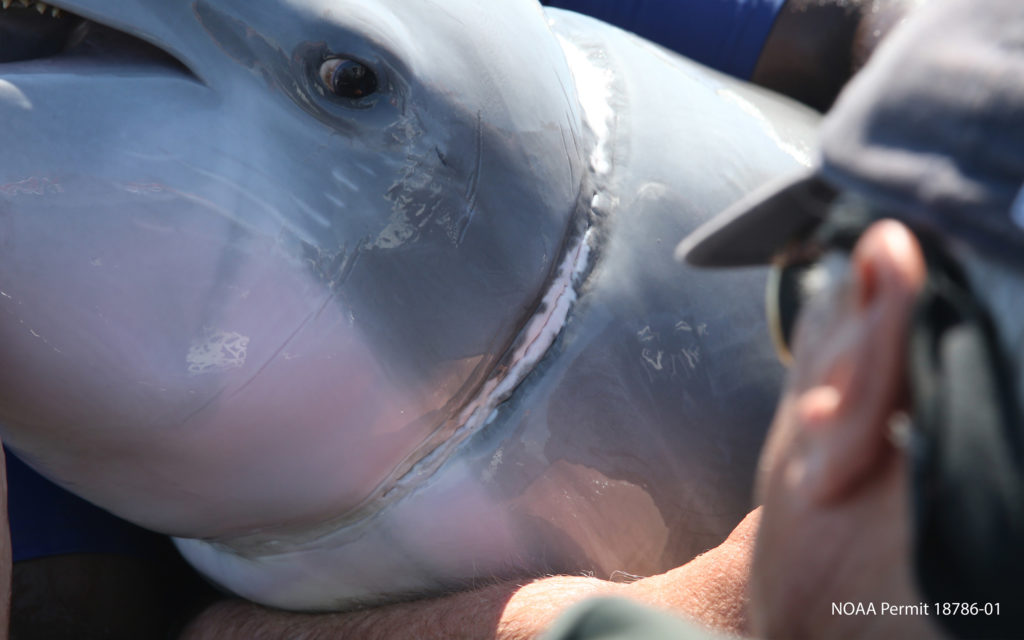 Rescued Bottlenose Dolphin gives new life