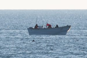Vaquita porpoise spotted